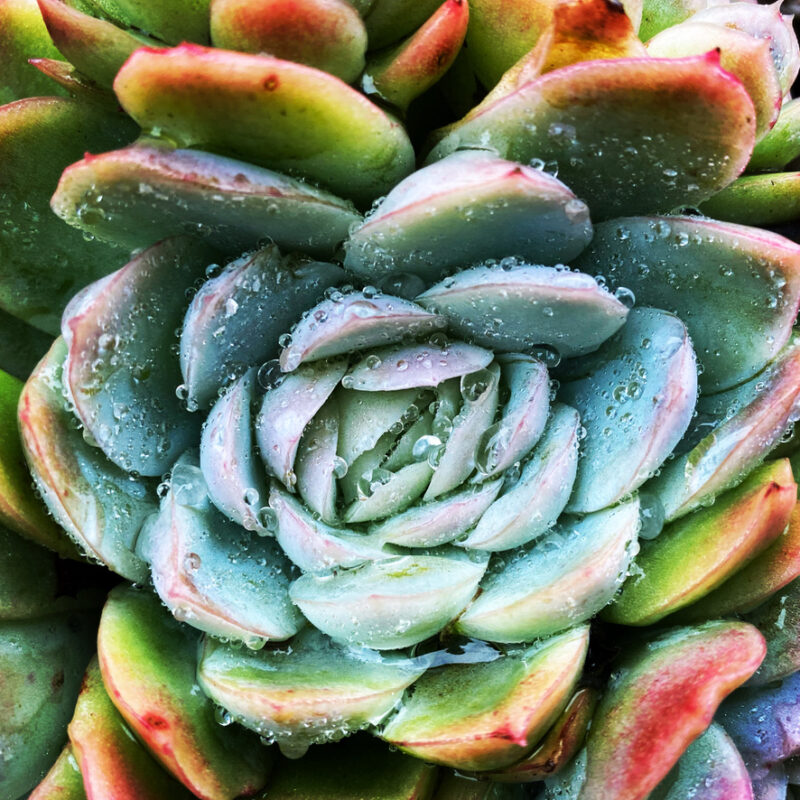 Succulent plant in a heart shape