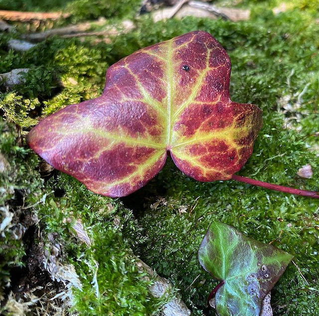 Red veined ivy leaf on moss