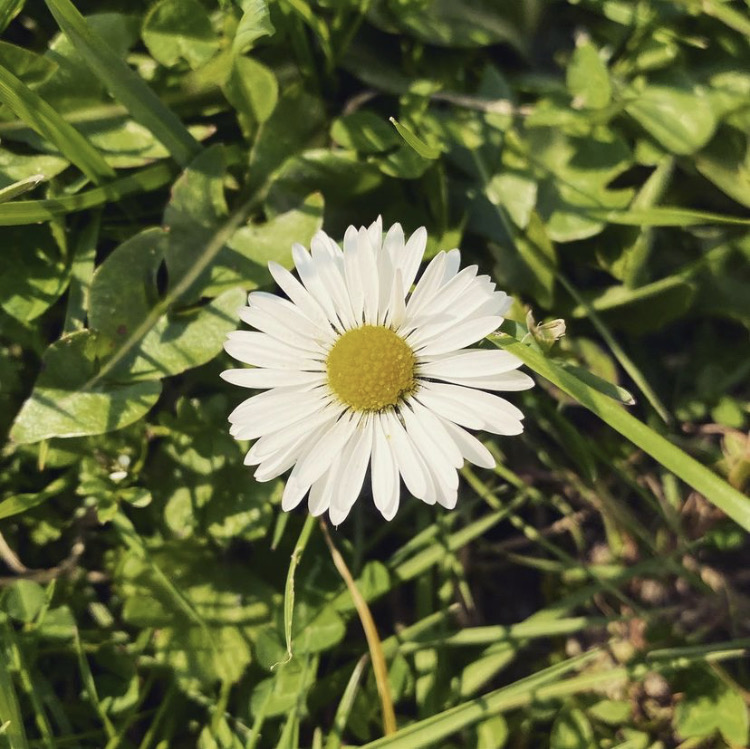 Single daisy in the grass